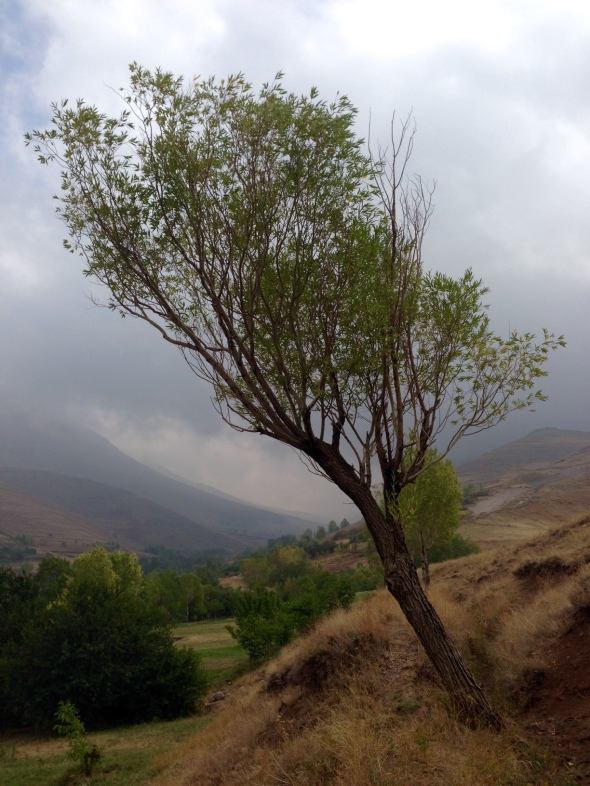 azerbaijan tree